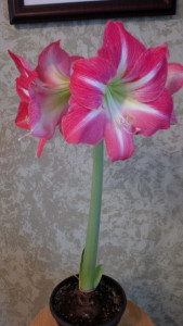 Beautiful Apple Blossom Amaryllis